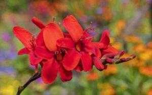 Crocosmia 'Hellfire' growing at Aberglasney Gardens