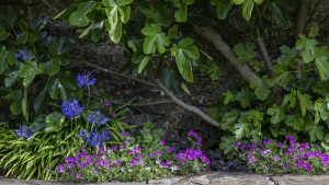 Geranium-and-Agapanthus