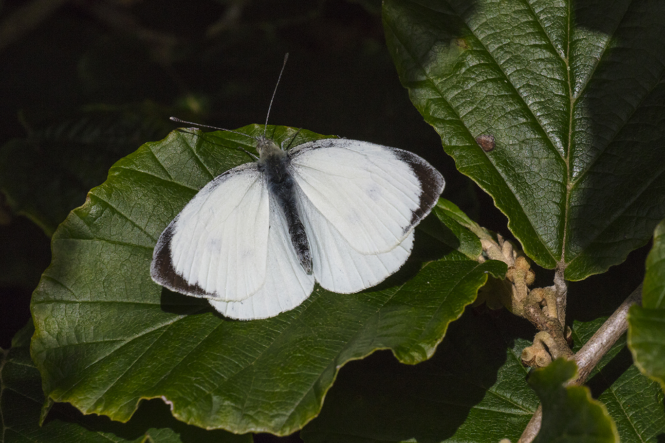 White butterfly on a leaf