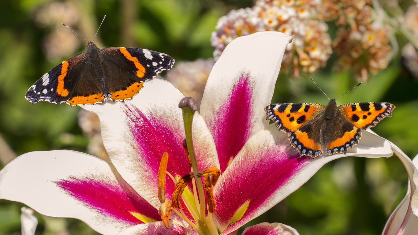 Butterflies on a Lily flower