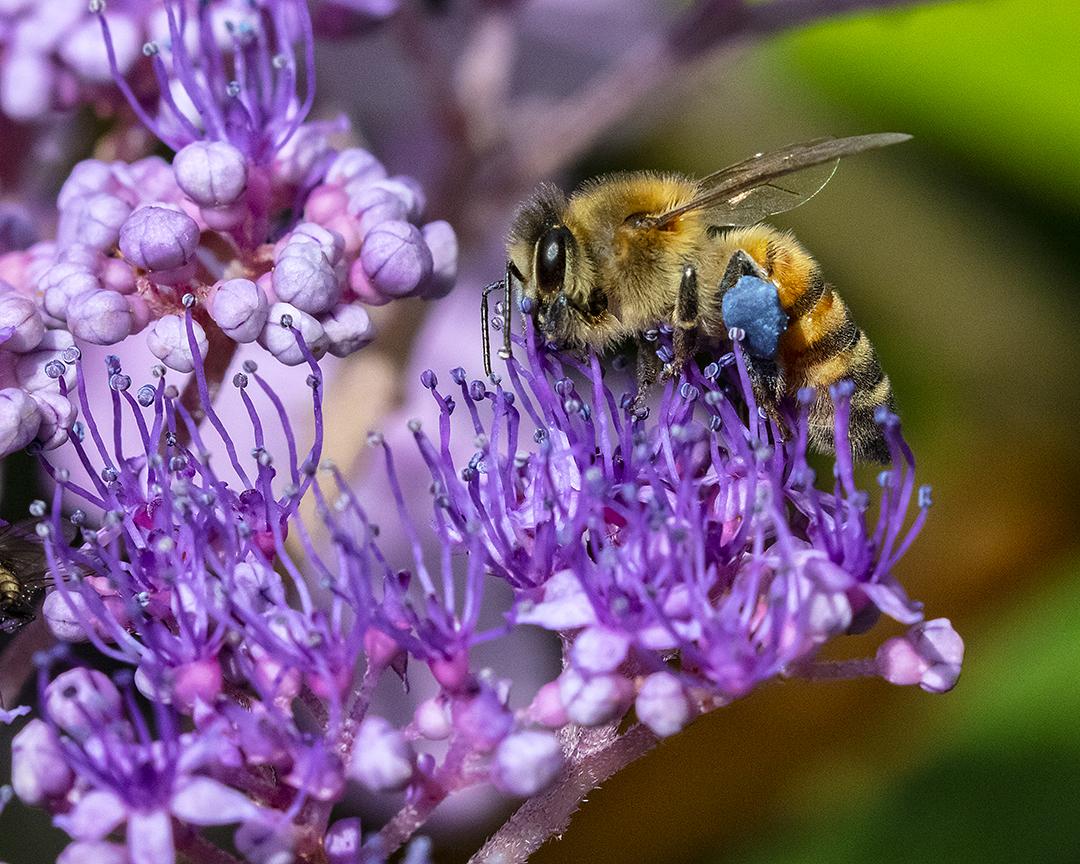 Honey Bee on a Hydrangea flower