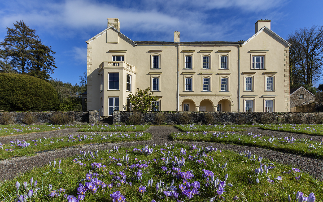 Purple crocus flowering in the garden next to Aberglasney's yellow grade II listed mansion