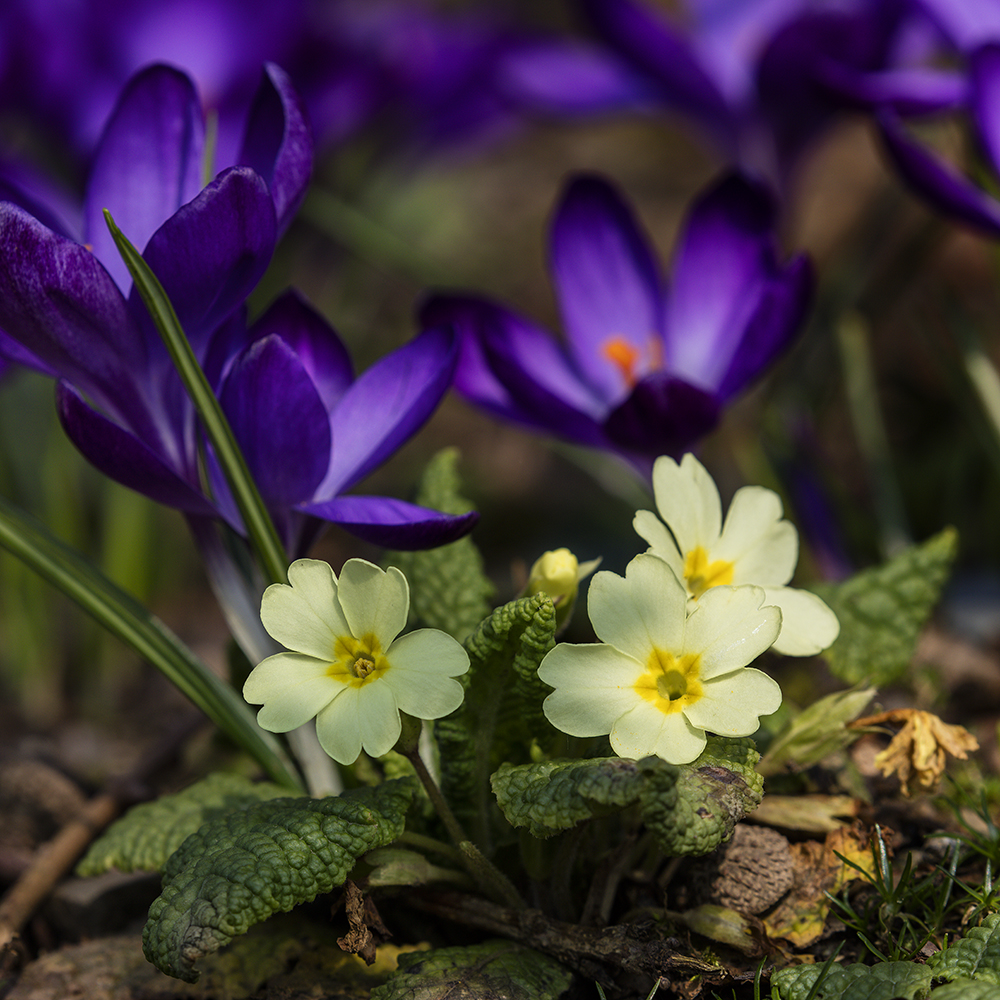 Purple Crocus and yellow Primrose in bloom together