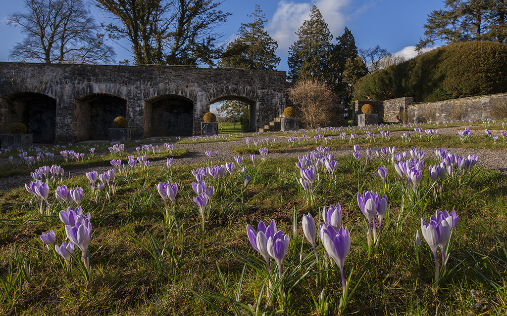 Purple crocus flowering in Aberglasney's Cloister Garden with parapet walk in the background