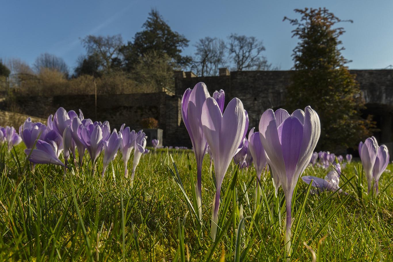 Lilac Crocus vanguard flowering in the Cloister Garden