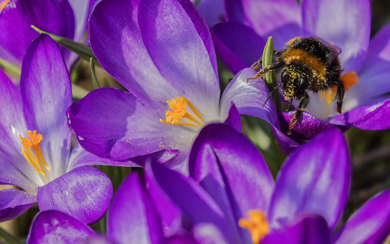 Crocus flowers having its pollen harvested by a bee