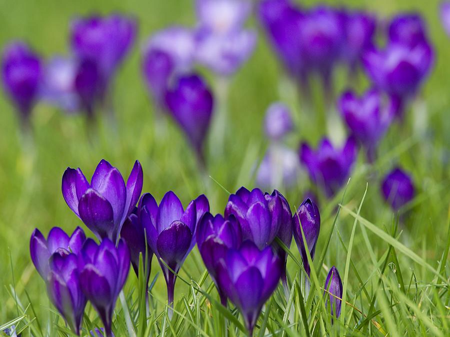 A clutch of purple Crocus flowering in grass