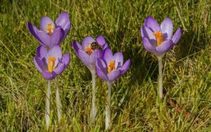 Lilac Crocus tomasinianus flowering in grass