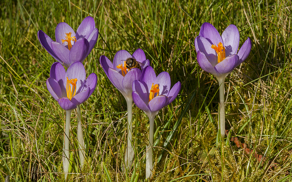 Lilac Crocus tomasinianus flowering in grass with a bee on its petals
