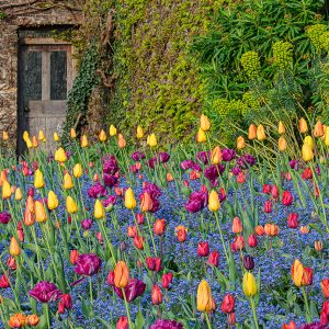 Bright colour tulips in flower by Aberglasney's Pool Garden