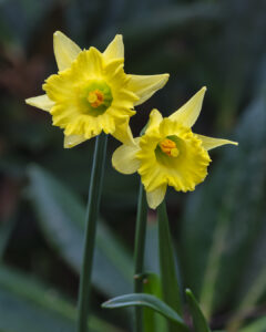 Yellow frilly daffodil flowering at Aberglasney