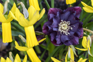 Yellow daffodil and purple hellebore in bloom at Aberglasney Gardens