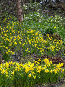 Drifts of yellow daffodils in the woodland bank at Aberglasney Gardens
