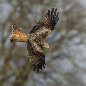 Red kite in flight above Aberglasney