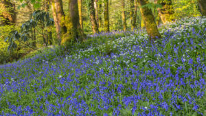 Carpet of bluebells covers the floor of Pigeon Wood, Aberglasney Gardens
