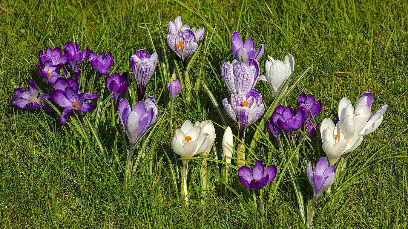 Purple, lilac and white Crocus flowering through turf at Aberglasney Gardens
