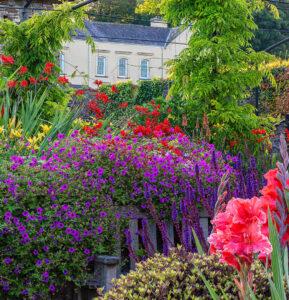 Beautiful bright pink Geranium in flower in the Sunken Garden. Aberglasney's mansion is visible in the distance.