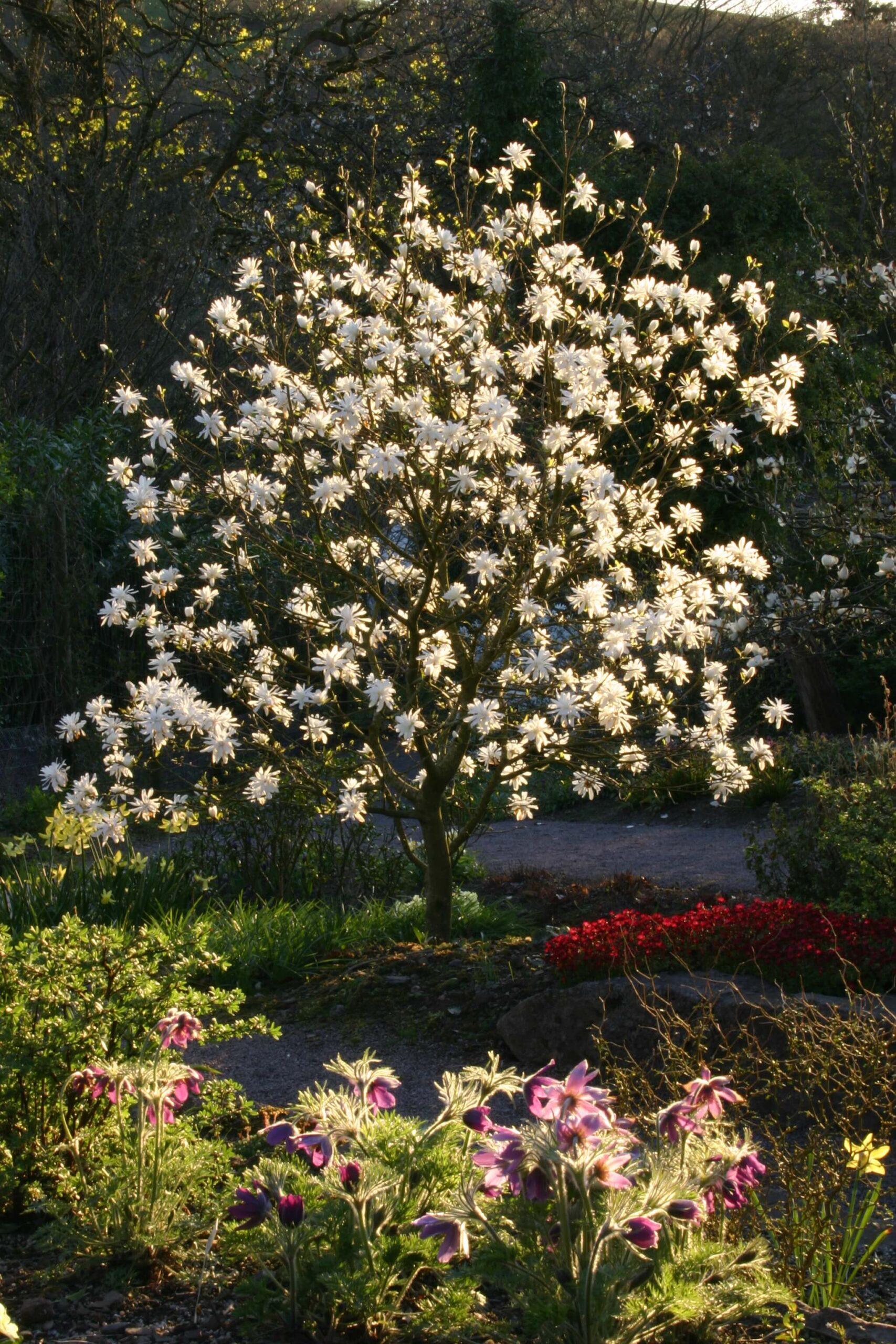 White Magnolia 'Ballerina' in flower at Aberglasney Gardens