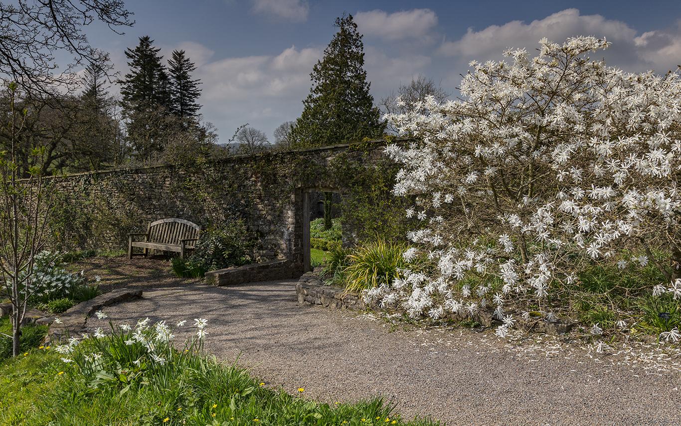 White Magnolia 'Centennial' tree in flower in the Valley Garden at Aberglasney Gardens