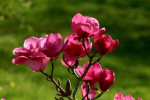 Magenta pink Magnolia 'Felix Jury' in flower at Aberglasney Gardens