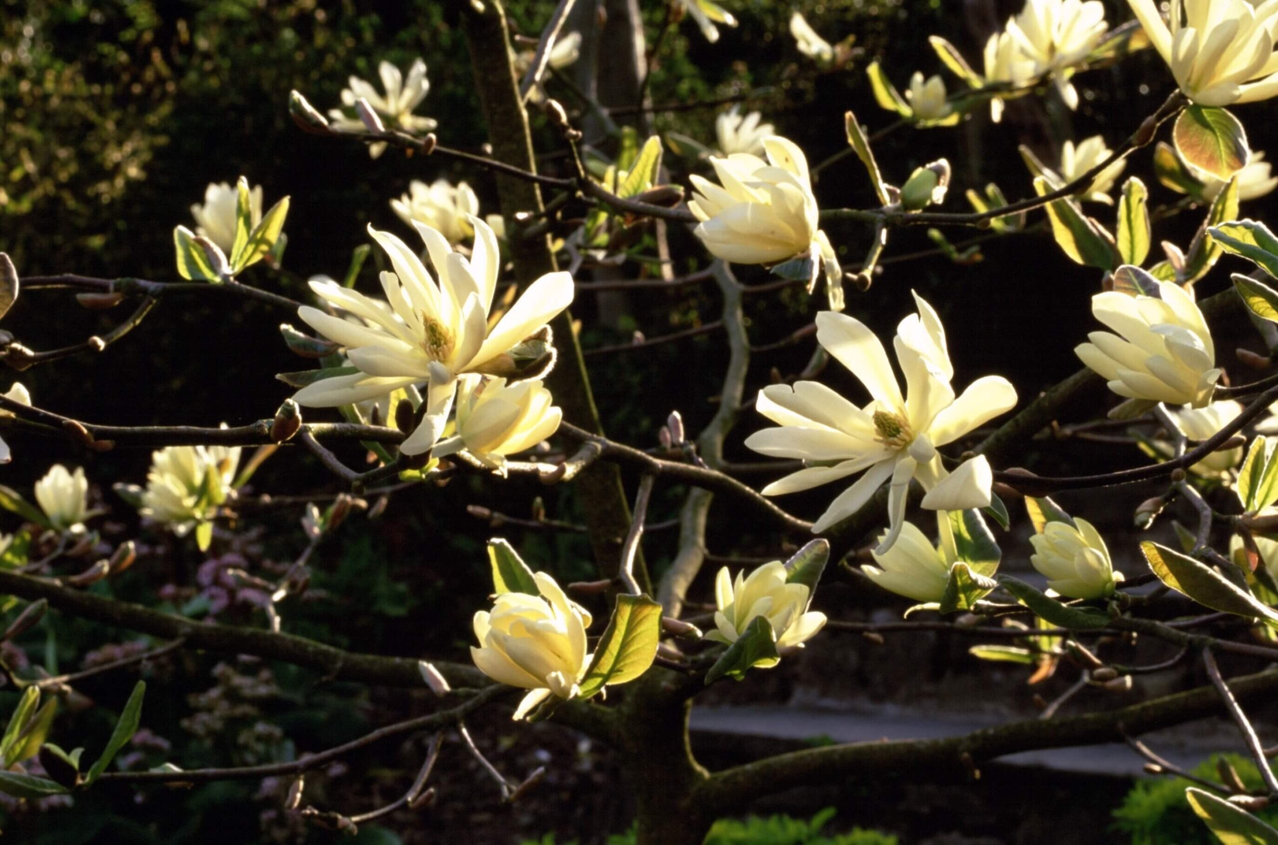 Golden yellow Magnolia 'Goldstar' in flower at Aberglasney Gardens