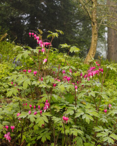Bright pink Dicentra spectabilis flowers at Aberglasney Gardens