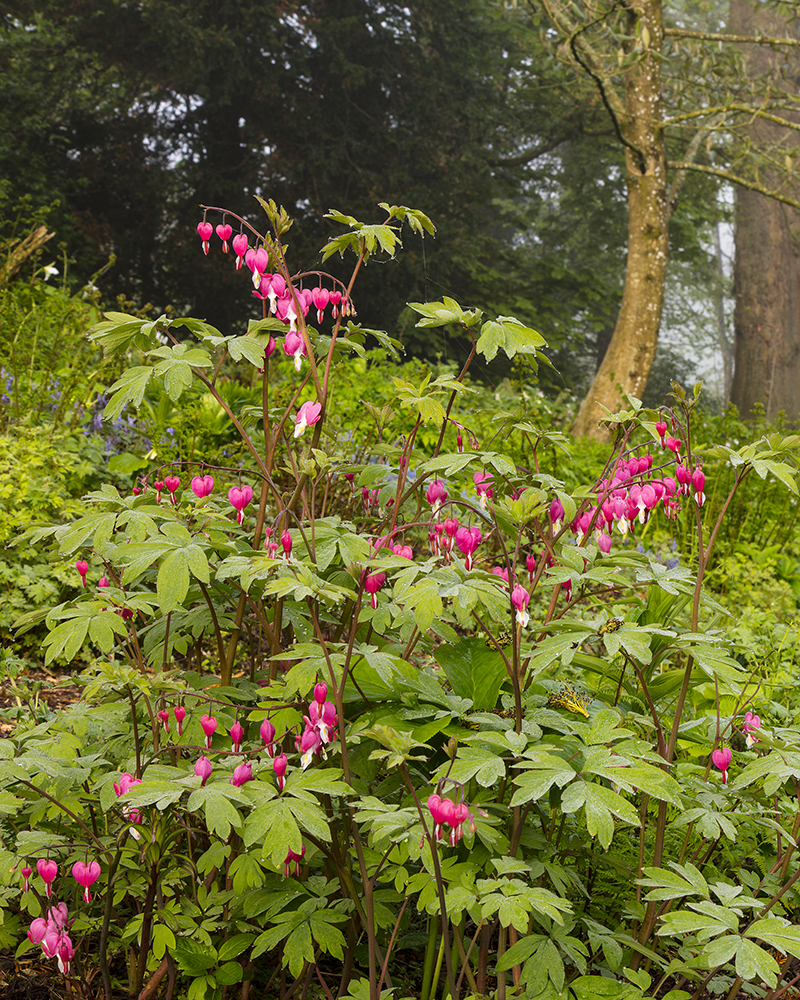 Bright pink Dicentra spectabilis flowers at Aberglasney Gardens