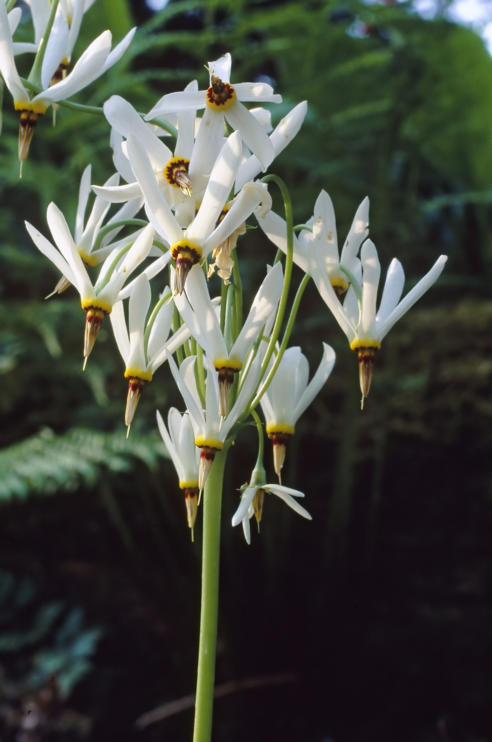Close up shot of Dodecatheon media 'Alba's white flowers