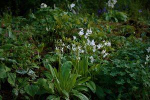 Dodecatheon media 'Album' in flower at Aberglasney Gardens