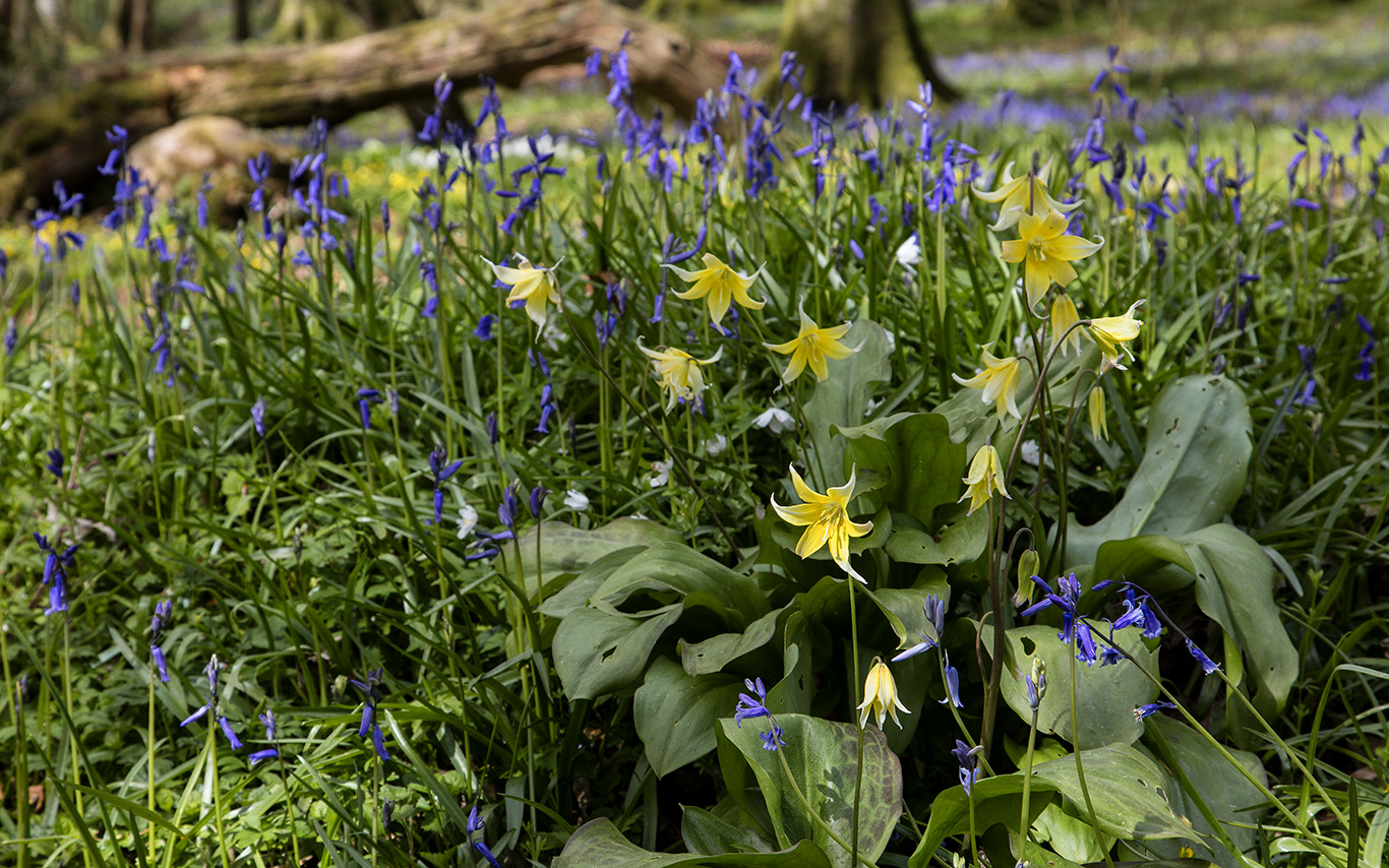 Yellow star shaped flowers of Erythronium 'Pagoda' amongst Bluebells in Pigeon Wood at Aberglasney Gardens