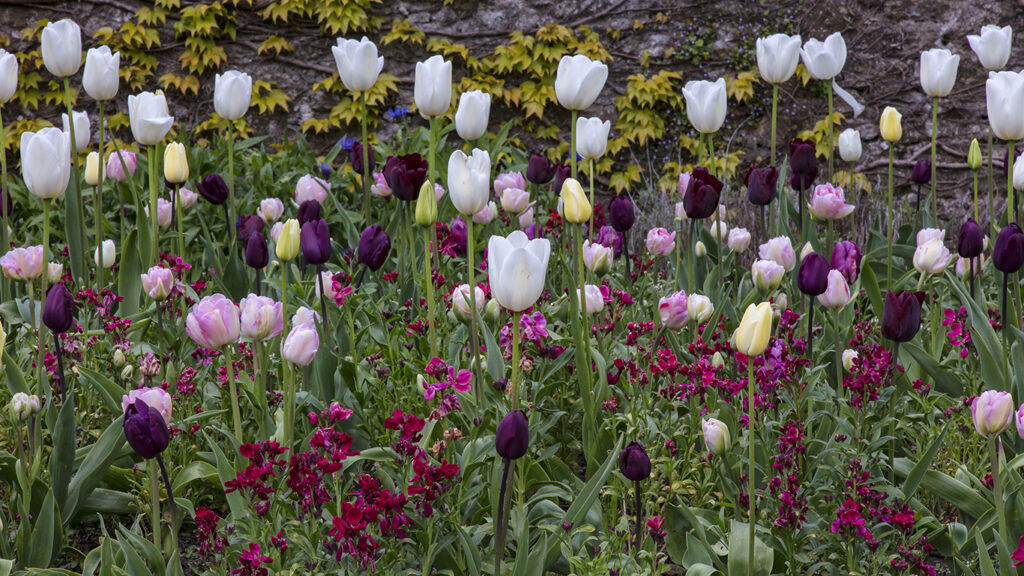 Pastel and deep purple tulips and wallflower in the Parterre in the Pool Garden at Aberglasney