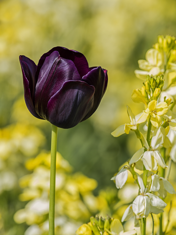 Maroon coloured Tulipa 'Queen of the Night' and Wallflowers at Aberglasney Gardens