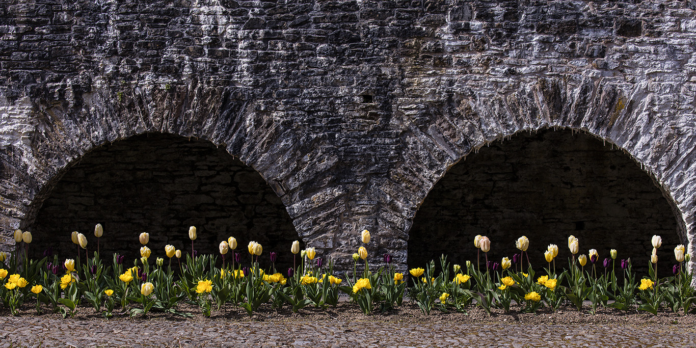 Yellow tulips in the Cloister Garden with parapet walkway behind. Aberglasney Gardens.