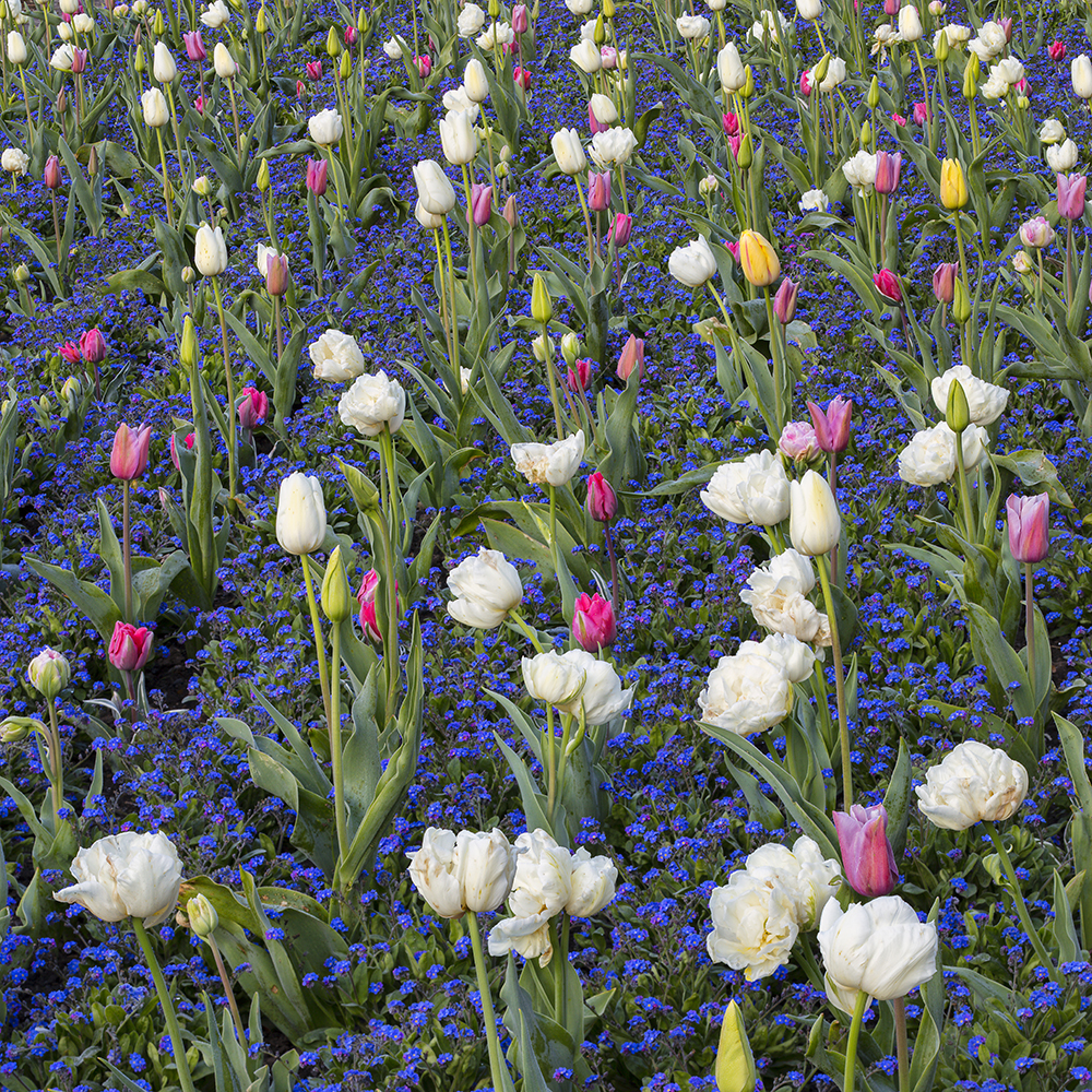 Pastel tulips and Forget-me-nots in the Pool Garden at Aberglasney