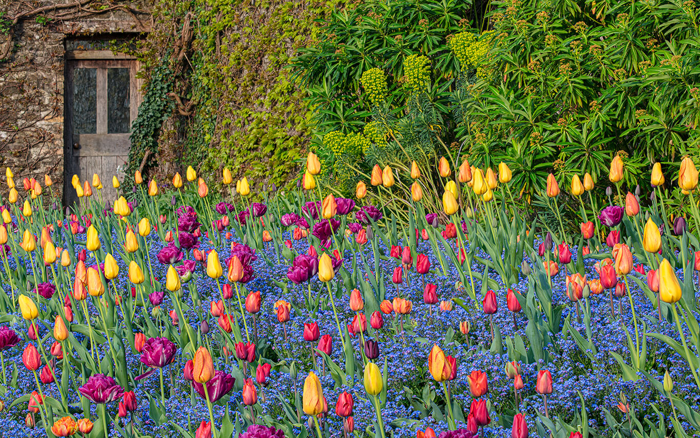 Bold coloured tulips in flower in the Pool Garden spring display at Aberglasney